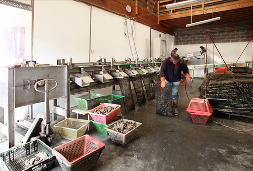 Grading and bagging of oysters